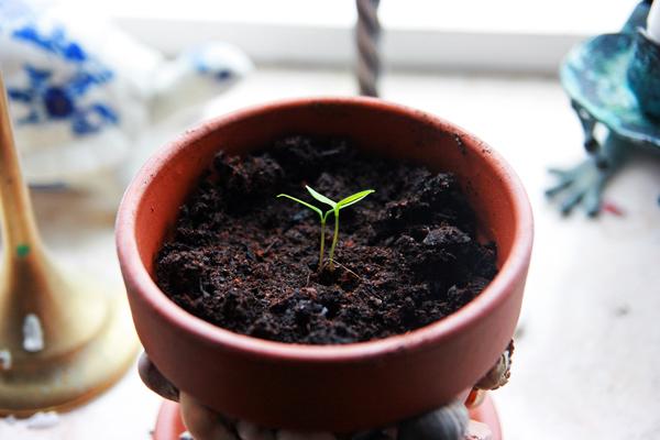 Pimientos de padron planterne har skiftet til potte
