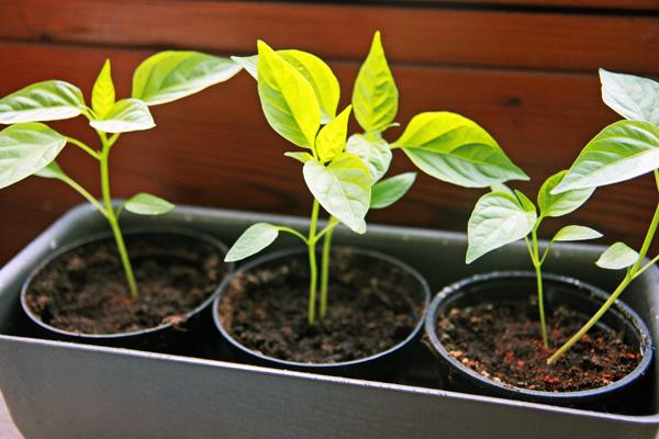 Pimientos de padron planterne er godt i gang