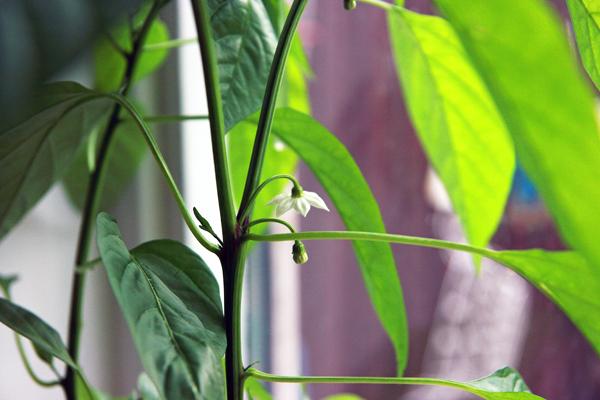 Pimientos de padron planterne blomstrer